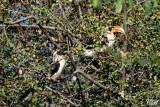 Calao de der Decken - Von der Decken's Hornbill (male and female)
