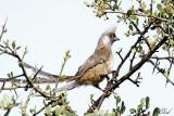 Coliou rayé - Speckled Mousebird