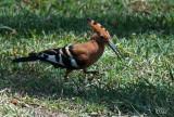 Huppe fascié - Eurasian hoopoe