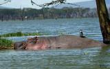 Hippo et Grand Cormoran - Hippo and Great Cormorant