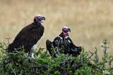 Vautour oricou - Lappet-faced Vulture