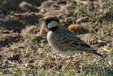 Moinelette de Fischer - Fischer's Sparrow-Lark