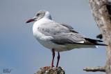 Mouette à tête grise - Grey-headed gull