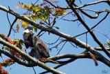 Singe hocheur blanc-nez - Red-tailed Monkey