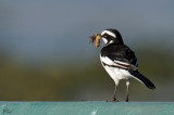 Bergeronnette pie - African pied wagtail
