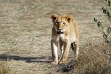 Lionceau - Lion Cub