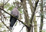 Tourterelle à collier - Red-eyed Dove