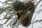 Tisserin de Speke - Speke's Weaver