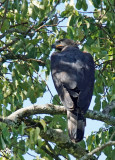 Aigle couronné - African crowned Eagle