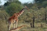 Girafe réticulée - Reticulated Giraffe