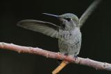 IMG_2852 Female Anna's Hummingbird.JPG