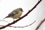 IMG_9659 Lesser Goldfinch