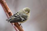 IMG_968 Lesser Goldfinch