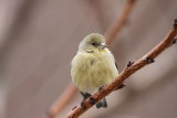 IMG_9691 Lesser Goldfinch