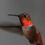 Male Rufous Hummingbird
