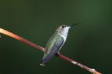 Rufous Hummingbird.