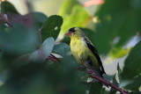 American Goldfinch in Apricot Tree