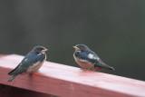 Recently fledged Barn Swallows