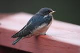 Recently fledged Barn Swallow