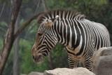 Zebra. San Diego Zoo
