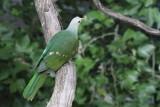 Wompoo Fruit Dove