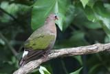 Emerald Dove,