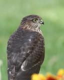 Cooper's Hawk watching birds