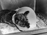 Poor Gizmo, he's miserable with the cone on his head.