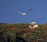 Gull Harassing a Polar Bear