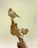 Pine Siskins in Flurries