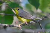 Canada_warbler