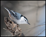 NUTHATCHES, CREEPER,  CHICKADEES