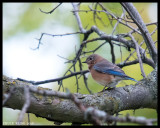 THRUSHES / GRIVES