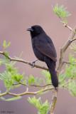 Bolivian Blackbird