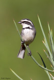 Ringed Warbling Finch