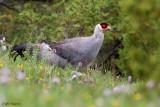 White Eared-Pheasant