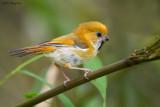 Golden Parrotbill