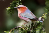 Crested Tit-warbler