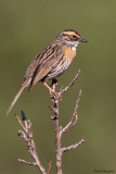 Rufous-breasted Accentor