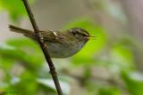 Gansu Leaf Warbler