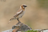 Rufous-necked Snowfinch