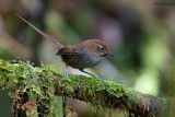 Black-throated Thistletail
