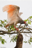 Asian Crested Ibis