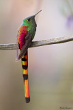 Red-tailed Comet