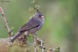 Grey-crested Finch