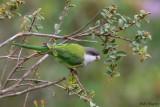 Grey-hooded Parakeet