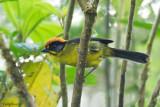 Bolivian Brush-finch