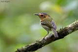 Ochre-faced Tody-flycatcher