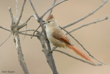Brown-capped Tit-spinetail