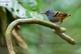 Rufous-bellied Antwren